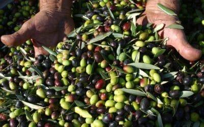 Tempo di raccolto in Liguria, tempo di olive